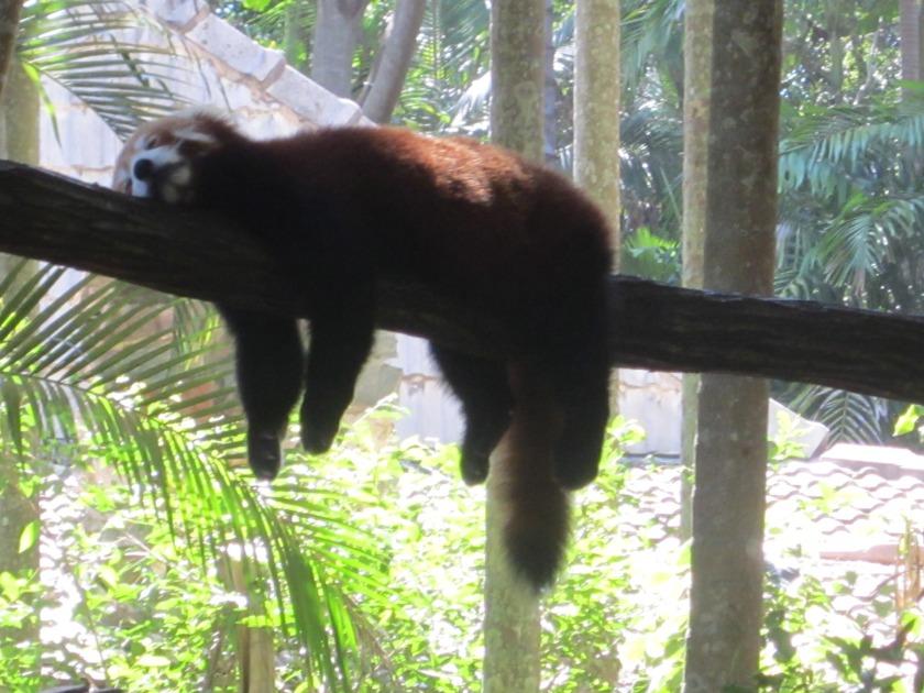 lazy_red_panda