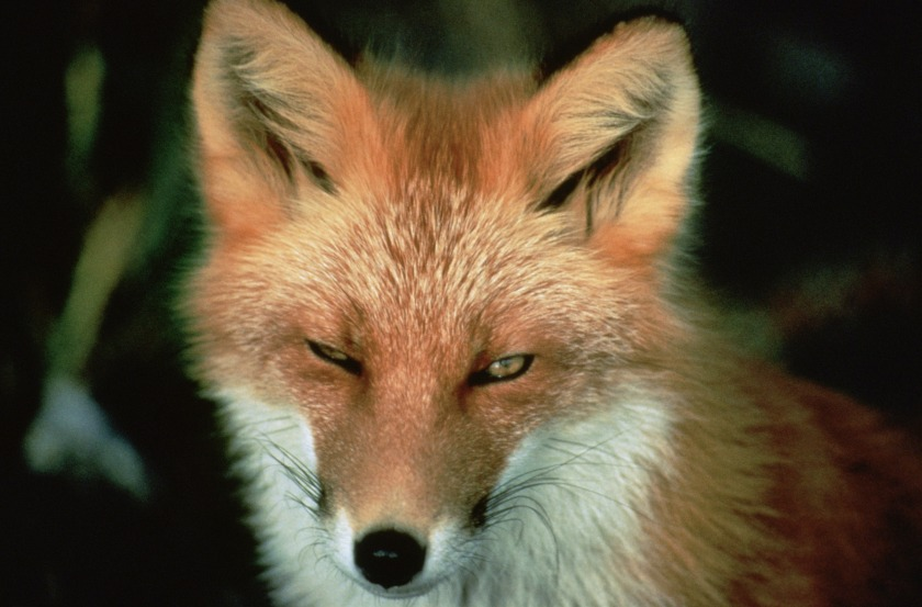 red_fox_animal_wildlife