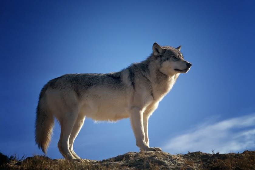 wolf_predator_wildlife